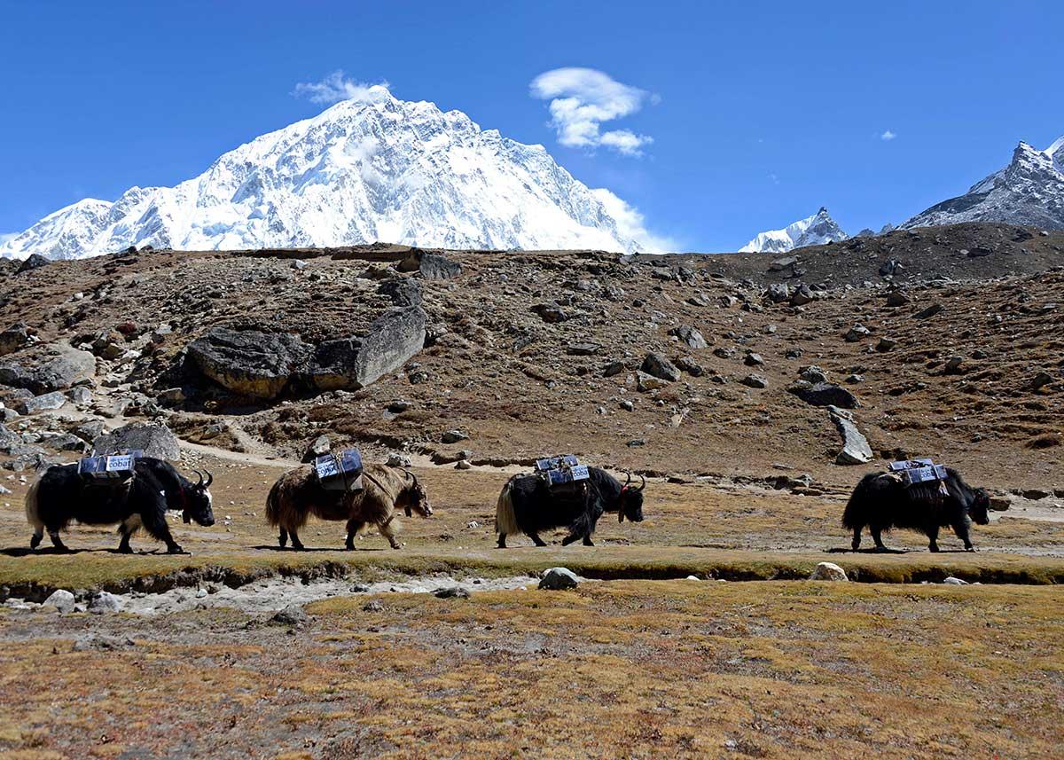 09-[Immagine_3]-Un-passo-dopo-l'altro_Yak-della-spedizione-sotto-al-monte-Nuptse-nella-valle-del-Khumbu-a-4930-mt-Nepal_-eds