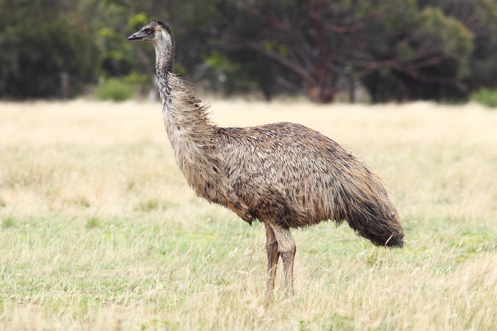 Emu-wild