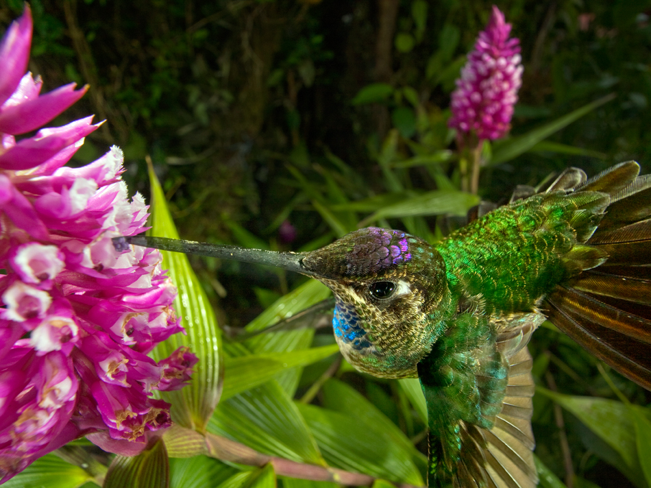 A male magnificent hummingbird pollinating an orchid.