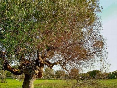olivo afectado