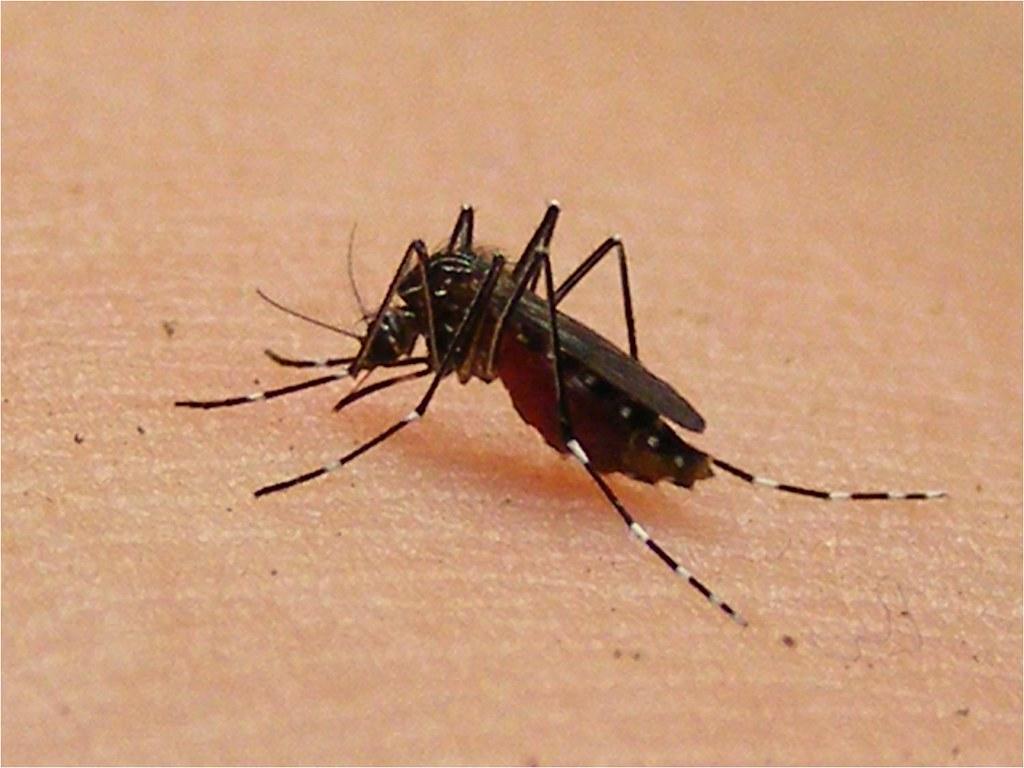 Dal 2021 zanzare OGM in Florida per combattere la dengue