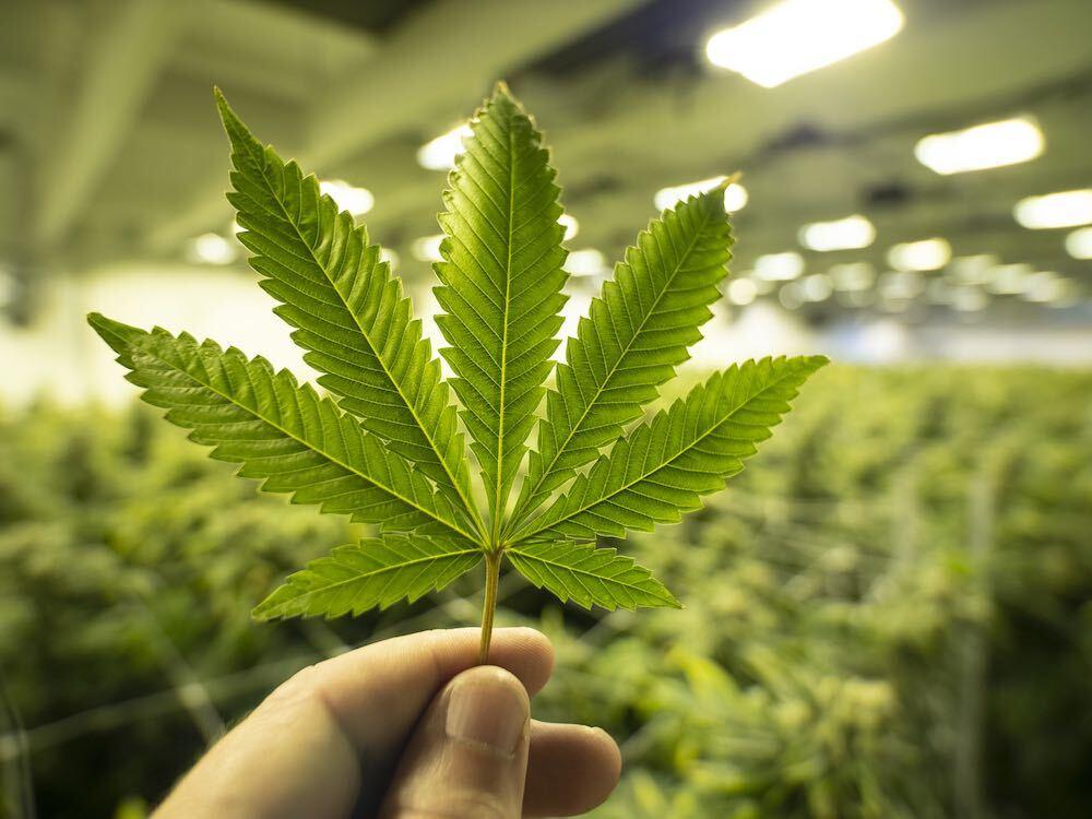 Legalizzazione della cannabis, un rischio ragionato