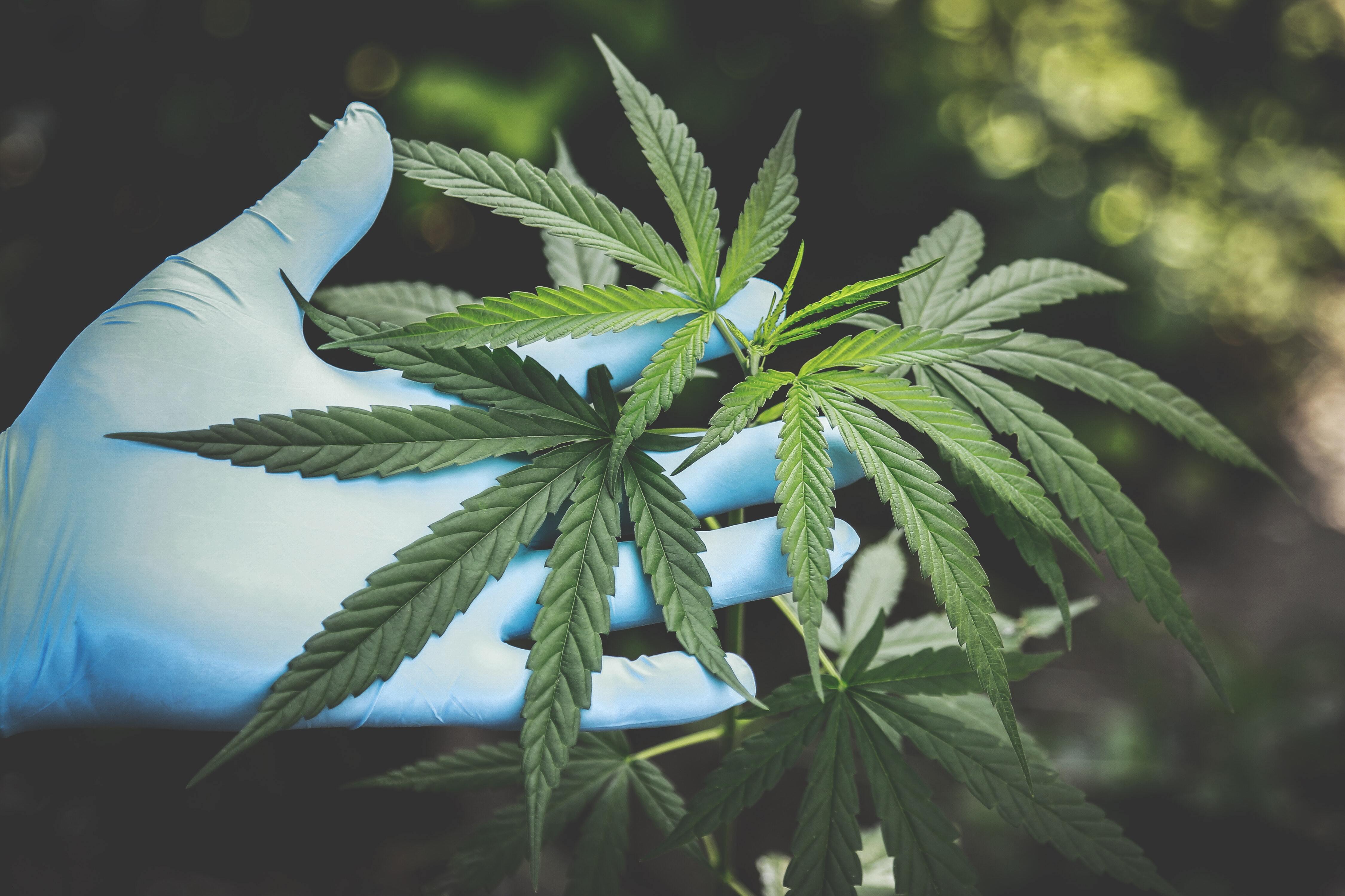 Un altro passo verso la legalizzazione della Cannabis